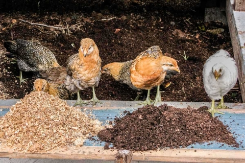 chickens, dust, and compost